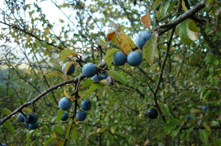 Il prugnolino e' un liquore a base di bacche del prugno spinoso.