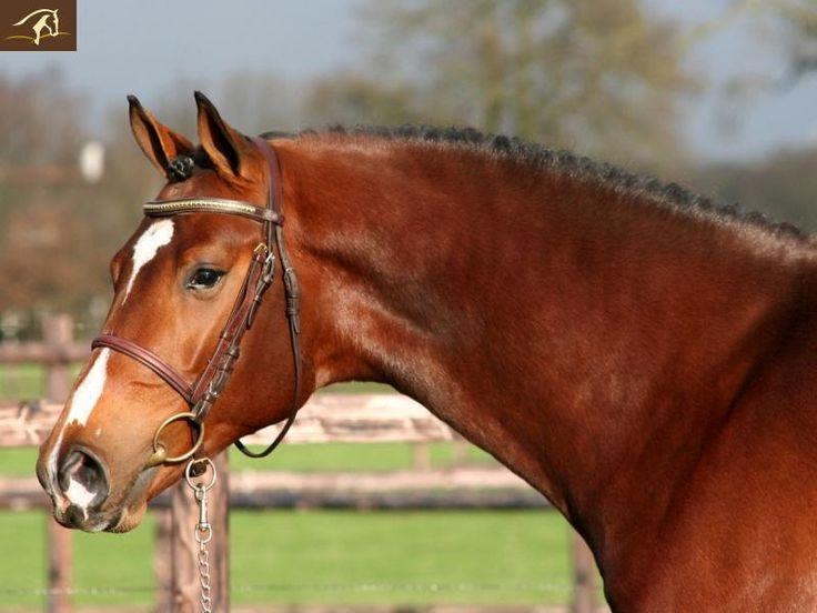 bay horse show - photo #47