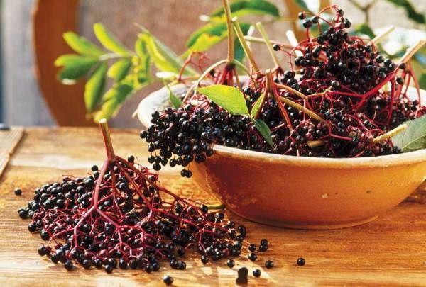 A #bodza hasznosnak bizonyul láz, influenza, kezdődő megfázás, #fertőző #betegségek #ellen