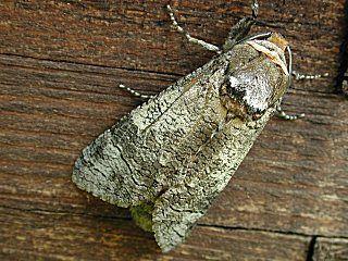 Weidenbohrer   Cossus cossus   Goat Moth  (31611 Byte)