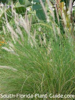 White fountain grass pennisetum setaceum alba this thin for Tall thin ornamental grasses