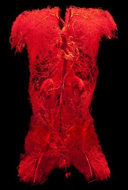 Bodies Exhibit: Circulatory System