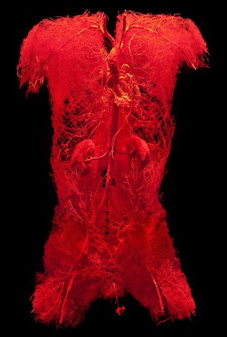 Bodies Exhibit: Circulatory System