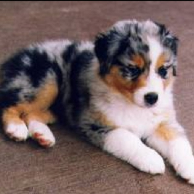 Australian shepherd Bernese mountain dog mix. Please.