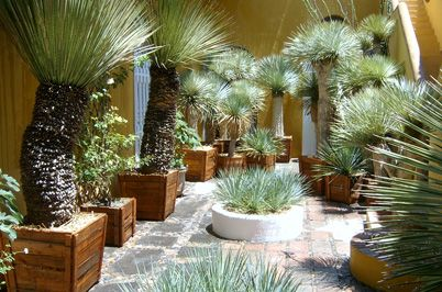 potted yucca rostrata in a courtyard