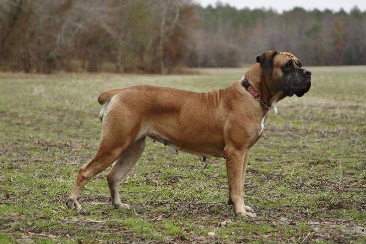 The Majestic South African Boerboel And Its Importance    – Great dogs