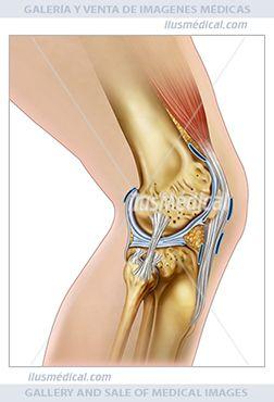 Estructura de la articulación de la rodilla. Ilustración de la pierna y la rodilla en vista lateral. La rodilla está formada por ...