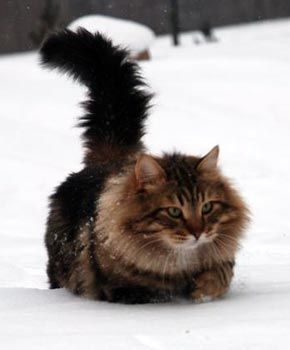 Siberian forest cat    they can be hypoallergenic! I have one and have no problems with her! They are such clowns too, best personality in a cat i have ever had