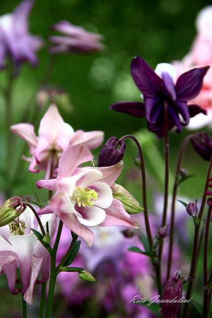Columbine or aquilegia is a herbaceous perennial that is drought tolerant (once established) and self-seeds if not deadheaded. The plant grows to 2' tall when in bloom and blooms late spring-early summer. Flowers come in a variety of colors. Grow in part shade. Best in rock and woodland gardens and as edging plants. Zones 3-9 (have)