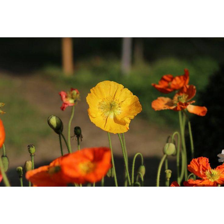 #꽃 #꽃스타 #꽃스타그램  #풍경 #힐링 #정원 #화단 #nature#naturelovers#flower#flowerporn #flowerslovers#flowers #flowersofinstagram #floweroftheday #flowerstalking #flowerstyles_gf #flowerstagram #beautiful #instagood #instadaily #instalike #relax #garden #instaflowers #instaflower #flowerfriends #flowergarden http://gelinshop.com/ipost/1520773310428829024/?code=BUa30S4AVVg