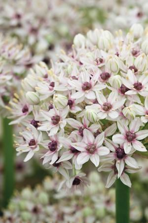 [allium 'Silverspring', available from Sarah Raven]
