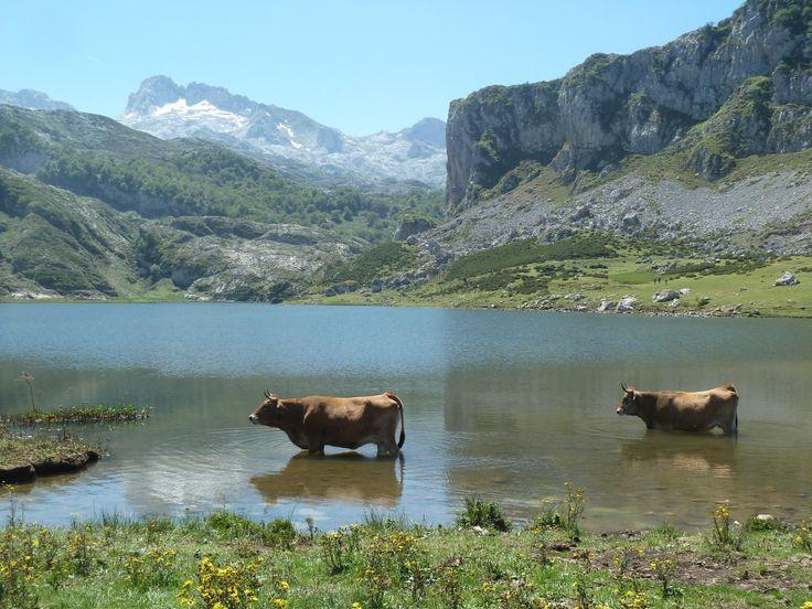 Vacas asturianas en los lagos de #Covadonga