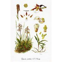 Botanische tekening uit de collectie van de Nationale Plantentuin van België. Ochidaceae  Belgicae 1