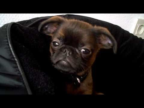 Petit Brabançon/Smooth Brussels griffon.  DOES IT GET ANY CUTER THAN THIS