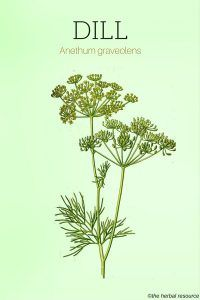 The Medicinal Herb Dill (Anethum graveolens)