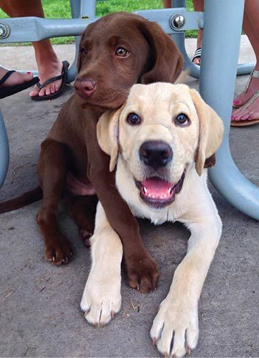 Cute Lab Puppies! 