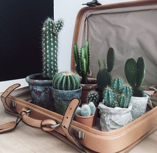 Here is some of my cactus family. I love the tall one and the little Mickey mouse cactus. They also compliment the brown vintage suitcase.