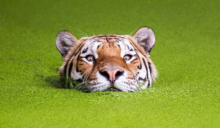 RLTD - Тигриные когти.