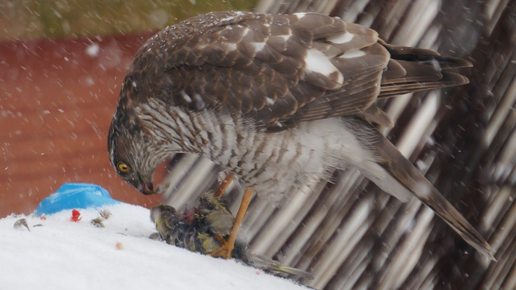 Eurasian Sparrowhawk hunting at our terrace