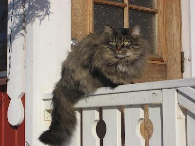 Karelian cat warming in sunshine
