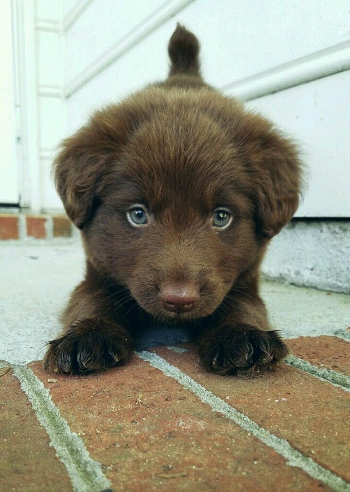 Cocker Spaniel Mix Labrador Dog Breed Information In 2020 Lab Mix Puppies Cute Dog Mixes Mixed Breed Puppies