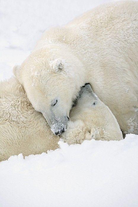 554 Best Polar Bears Images On Pinterest Polar Bears