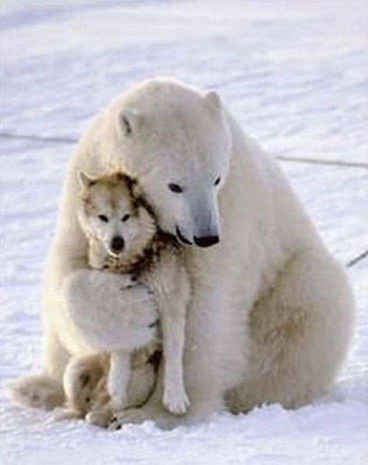 "This is one of My favorite images. The sledder thought the polar bear was going to kill his dogs, but the dog took a ""submission"" position and the polar bear began to play - AND came back each day to play until the team was out of his territory!"