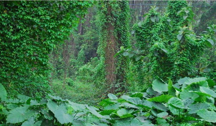 Бесплатная доставка горячий продавать 30 шт. Hedera спираль китайский ivy семена DIY главная сад растения в одном оптовая продажа цена купить на AliExpress