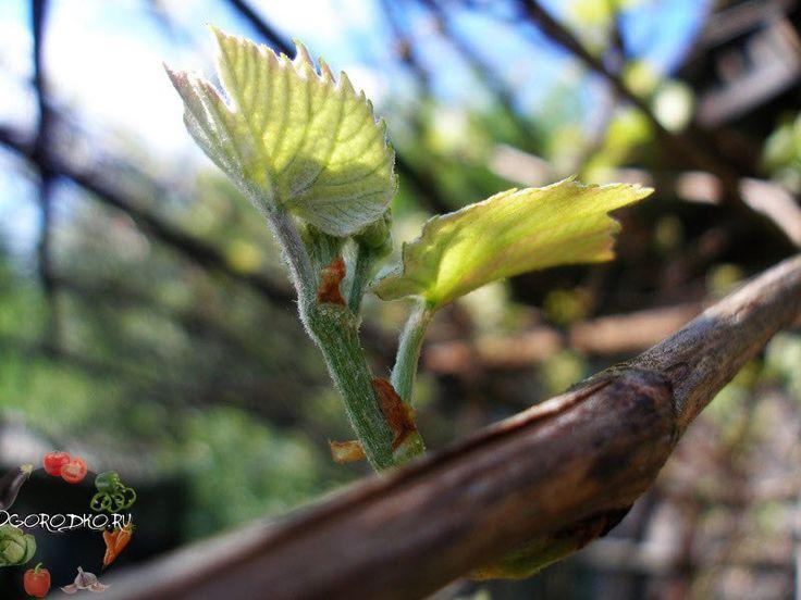 Весенние работы в винограднике!     При помощи обрезки с последующей подвязкой создается форма куста, при которой достигается оптимальное соотношение надземной части с корневой системой, определяющее нагрузку побегами и плодами.    Обрезкой регулируется рост и плодоношение винограда по годам. У каждого сорта есть свои особенности обрезки, которые зависят от характеристики сорта: оставление определенного количества рукавов и их длины, плодоносящих лоз, сучков защемления и здоровых глазков…