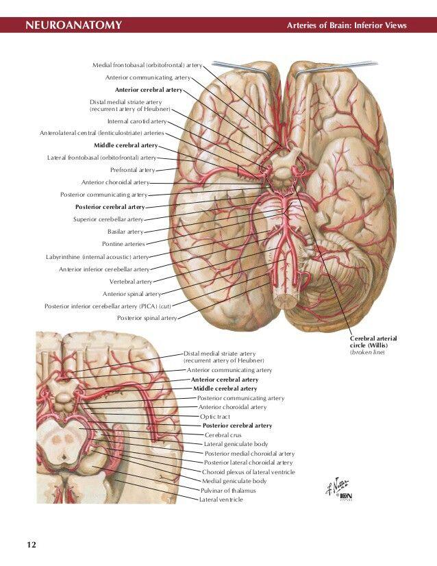 Atemberaubend 3d Anatomie Des Gehirns Software Galerie - Anatomie ...
