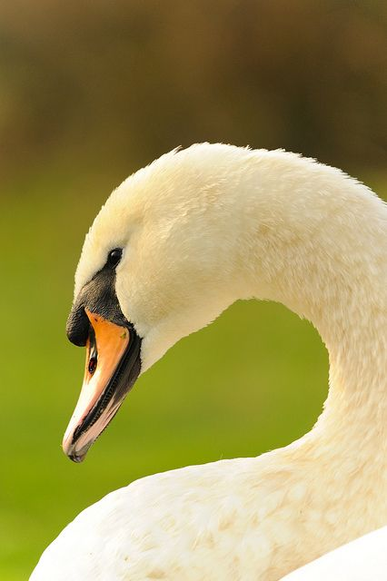 Mute swan  by amylewis.lincs, via Flickr