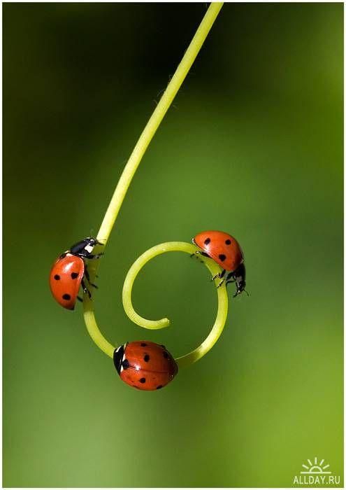 Leppäkerttu on hyönteinen, joka on hidasliikkeinen ja sillä on kova kuori. Häirittyinä leppäkertut erittävät keltaista nestettä, joka maistuu ja haisee pahalta.
