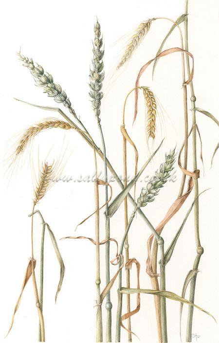 botanical illustration of stems of wheat
