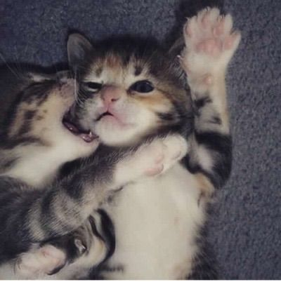Image via We Heart It https://weheartit.com/entry/153023139/via/4893932 #cats #cute #kisses #love #tigers #tumblr