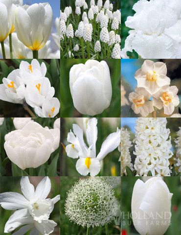 Range of White Bulbs with an even mix of early, mid and late spring flowers to last all spring long.