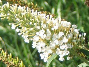 White Profusion Buddleia Plant