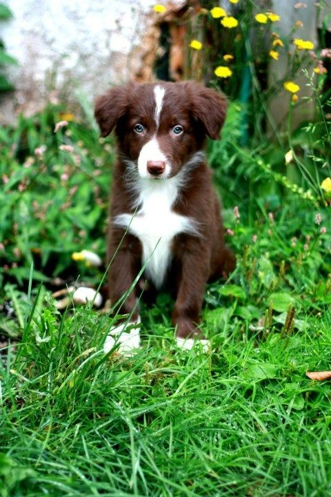 Red & White Border Collie puppy. This is the puppy I want, awww..he just stole my heart. Love at first sight!