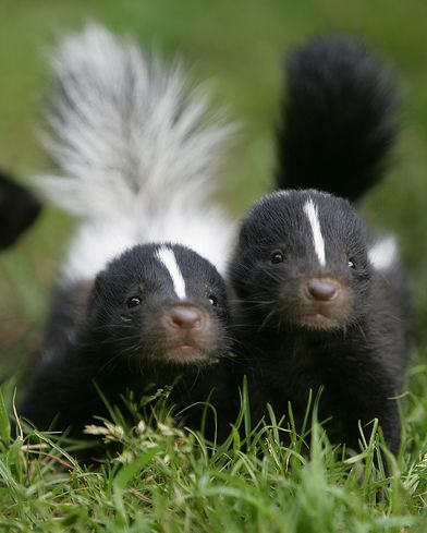Skunks... we come in pairs... would you like one?: Cute Baby, Animal Kingdom, Skunks Baby, Baby Skunks, Woods Pussy, Baby Animal, Polecat, God Creatures, Adorable Animal