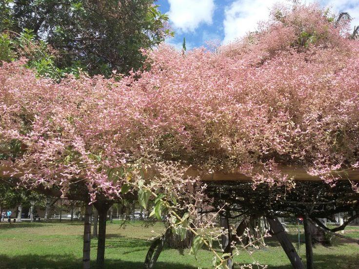 Árbol con flores  rosas, tuluá Colombia.