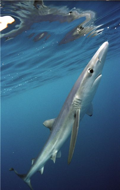 The blue shark (Prionace glauca) is a carcharhinid shark which inhabits deep waters in the world's temperate and tropical oceans.