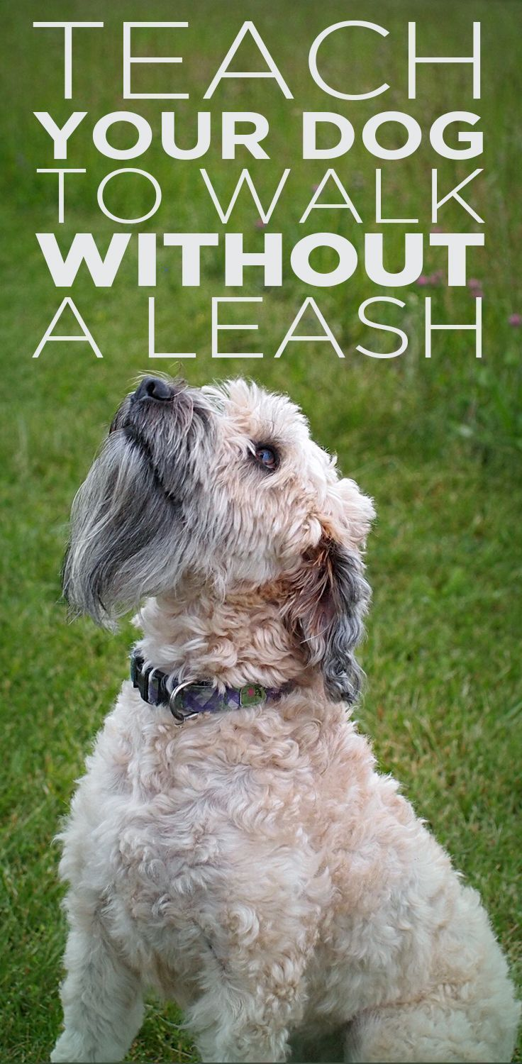 Teach Your Dog To Walk Without A Leash Dog Training Dogs Dog