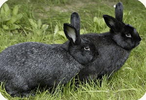 The Silver Fox is a heritage breed meat rabbit...their fur is exceptional