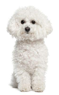 Bichon Frises are playful little dogs! #bichonfrises #dog
