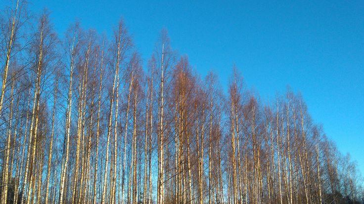 Ihana päivä; sinitaivas, koivikko, aurinko marraskuussa. Lovely birch forest in the sunny November.