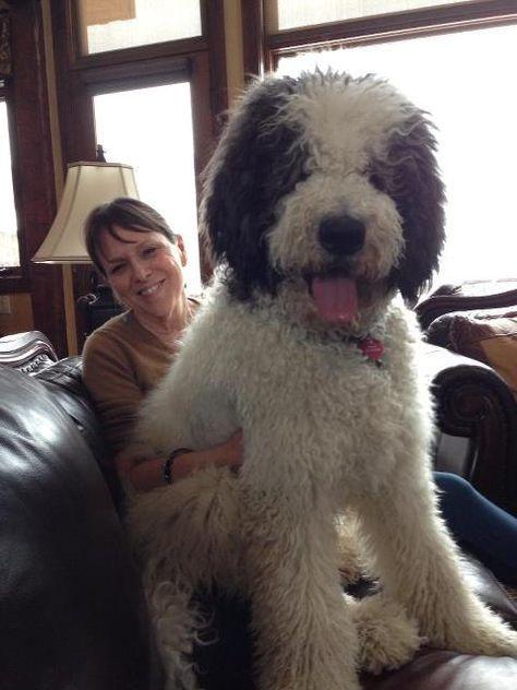 Saint Berdoodle- love it! No shedding but still get your giant lap dog:)