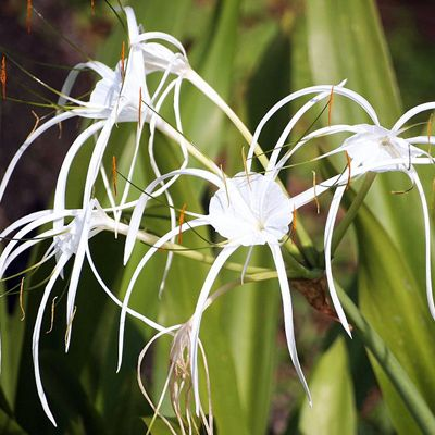 Buy hymenocallis caribaea, spider lilly - plant now from Indias largest online plant nursery at best price. Get a Free plastic pot with hymenocallis caribaea, spider lill