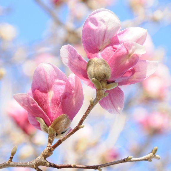 Spring: Flora Beautiful, Cherries Blossoms, Flowers Collection, Spring Beautiful Flowers, Spring Flowers, Magnolias, Creatures Comforter, Pink Umbrellas, Springbeauti Flowers