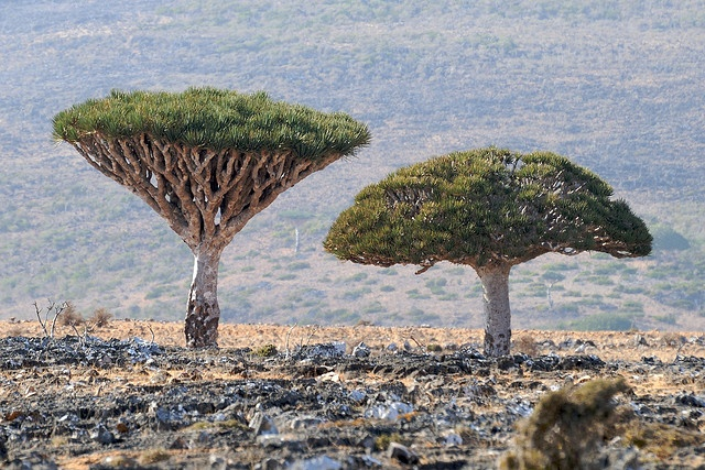 Island of Socotra, Yemen resembles someplace you'd expect to see aliens living in. One of a handful of strange looking plants, the Dragon's Blood Tree looks like broccoli and it's resin is dark red.