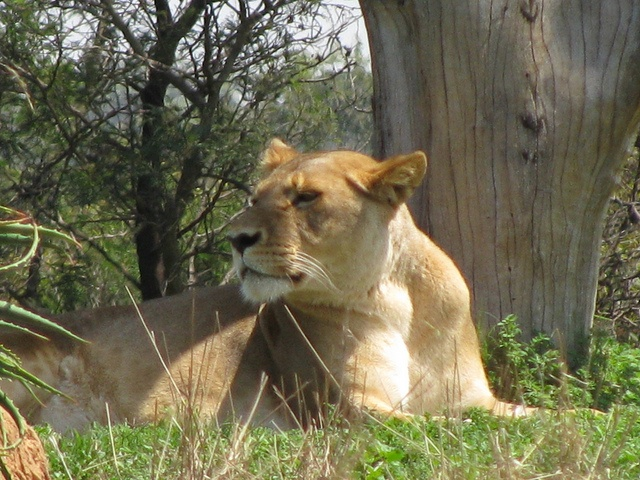 The proud lioness in the lion enclosure at the Werribee Zoo