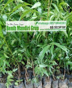 Jual Bibit Tanaman Herbal Unggul Di Jawa Timur